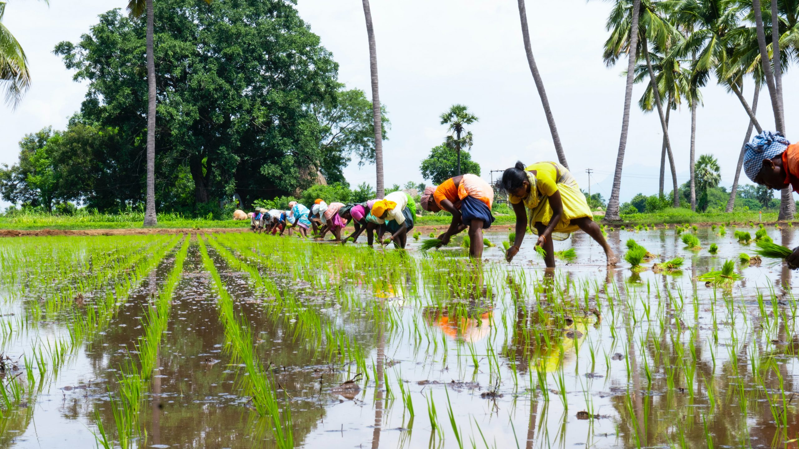 rice field in Tamil Nadu
